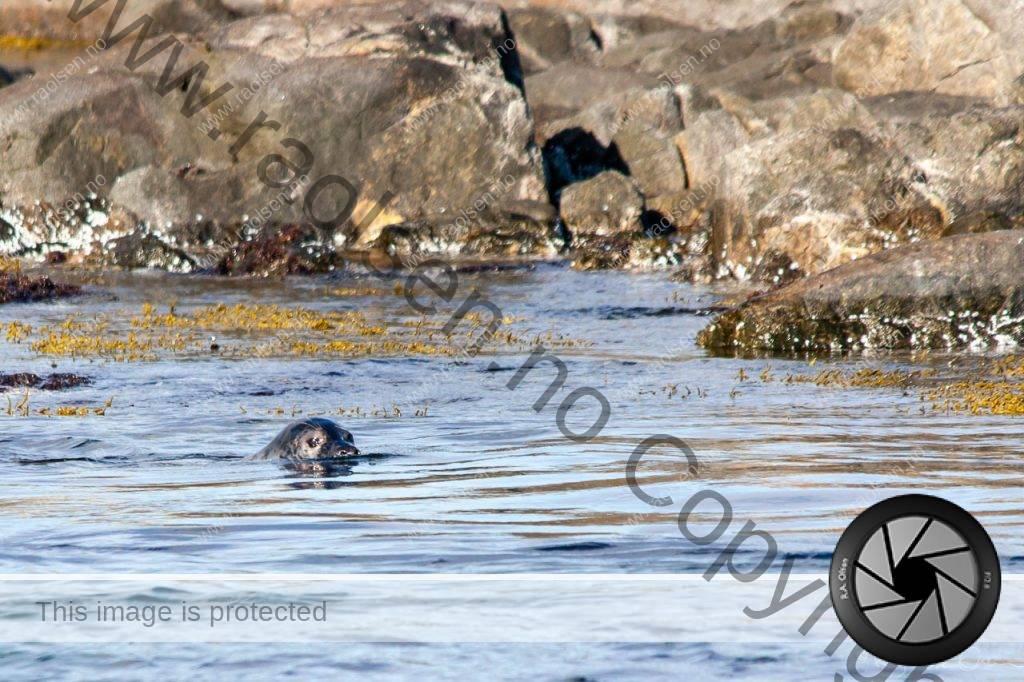 Kobben lurer i vannflaten ved Gjesværstappan.