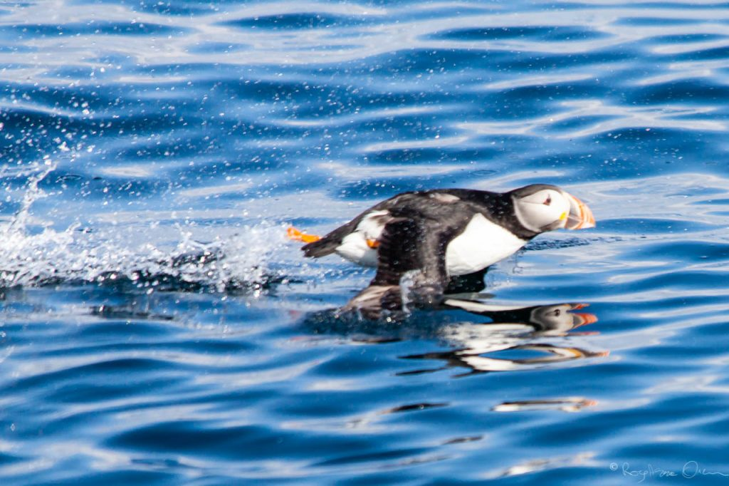 Puffin take off