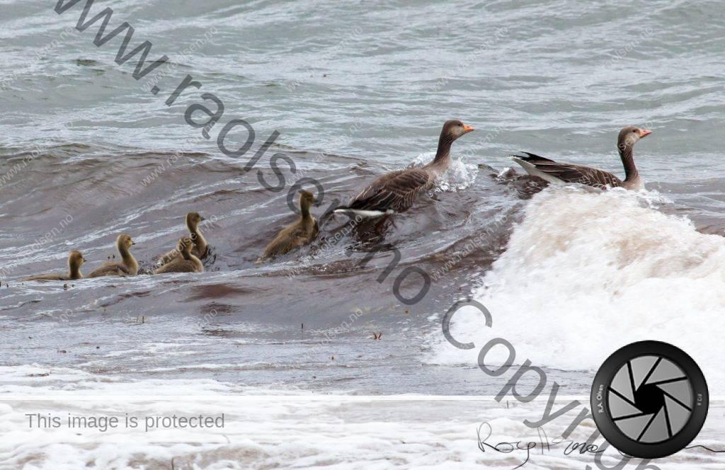 Gjess med sine små på sjøen.