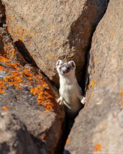 Weasel at Magerøya