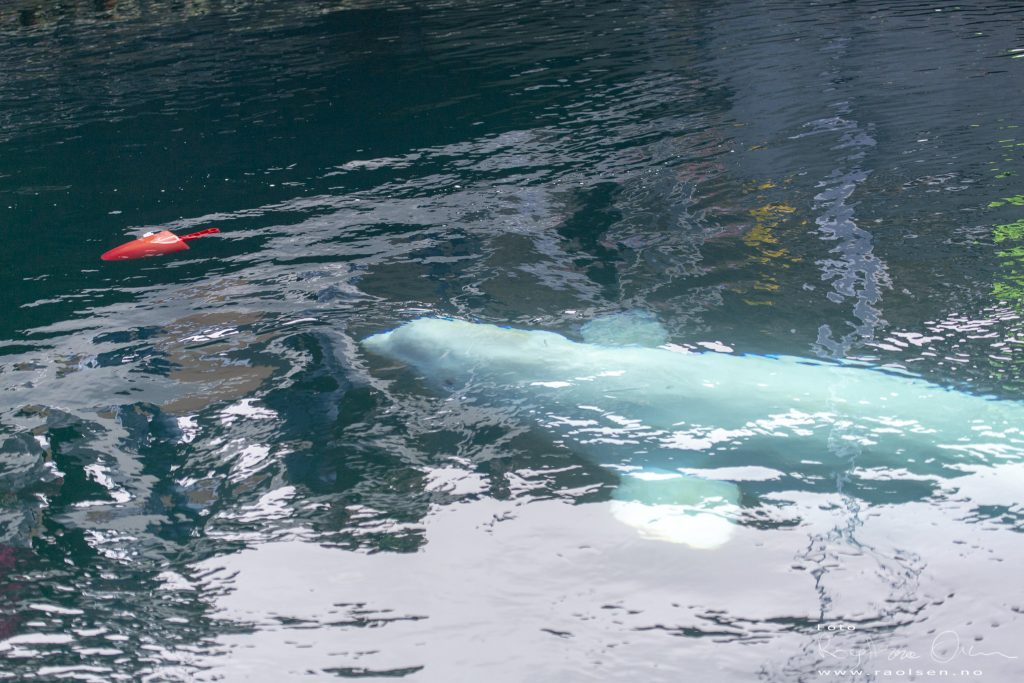 Beluga whale Hvaldimir