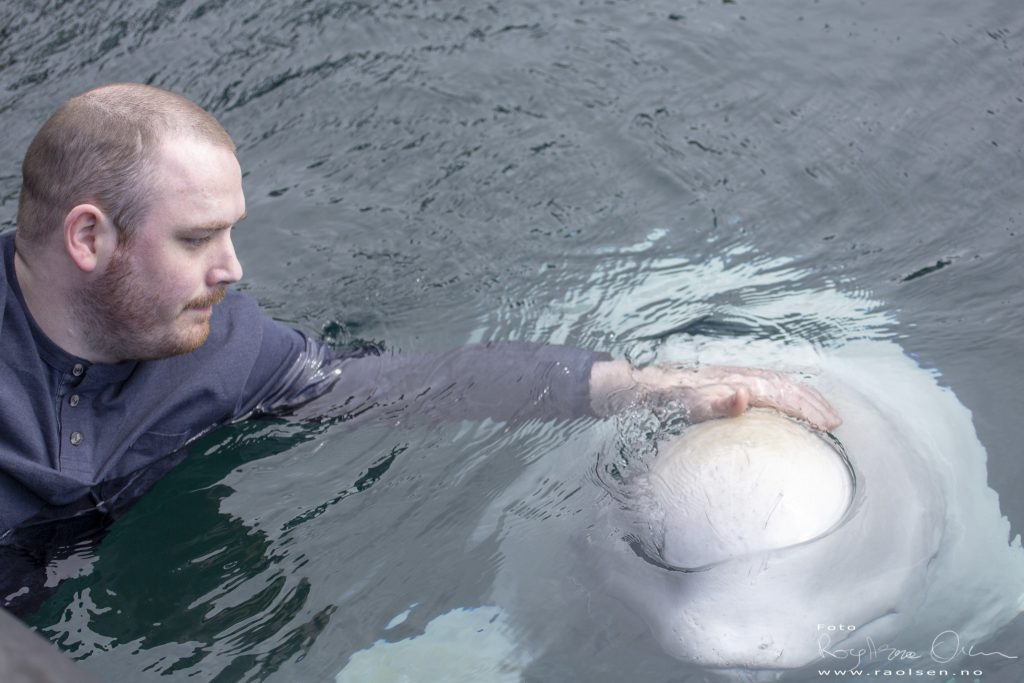 Swimming with a beluga