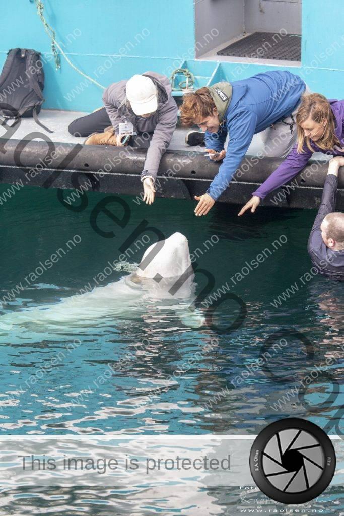 The Beluga whale Hvaldimir